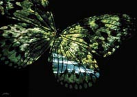 'Butterfly Country' Large limited edition prints by John Neville Cohen